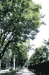 埼玉県朝霞市の木「ケヤキ」